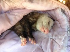 Opossum dreams. They're actually very sweet creatures. Our humane society had one named Violet who was found as a baby, cross-eyed, and couldn't be released. Sadly, possums only live about 3-4 years in captivity, or 1-2 years in the wild--baring car strikes or being eaten. They have a lot of things trying to kill them, and use those wicked spikey mouthful of teeth to hiss and scare away predators, but they are really quite gentle.