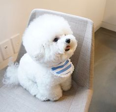 Bichon Frise. This has to be the cutest Bichon with the cutest cut ever.