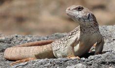 Descubre la impresionante iguana del desierto
