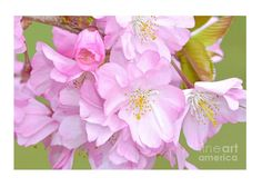 Cherry Blossom Cluster Metal Print by Regina Geoghan. All metal prints are professionally printed, packaged, and shipped within 3 - 4 business days and delivered ready-to-hang on your wall. Cherry Blossom Images, Cherry Blossoms, Flowering Cherry Tree, Spring Images, Flower Close Up, Cityscape Photography, Spring Colors, Custom Greeting Cards, Art For Sale