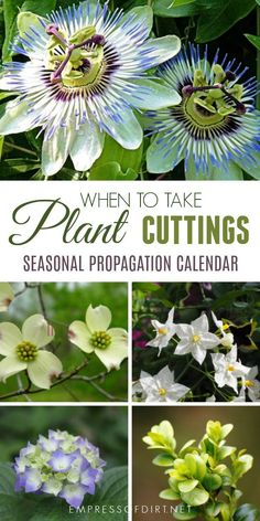 Growing new plants from cuttings is an easy way to get more of the plants, perennials, shrubs, and vines you love. This seasonal calendar shows some of the plants you can propagate by softwood, semi-ripe, and hardwood cuttings throughout the year. #gardening #propagation #gardentips #gardencalendar #seasonalgardentips #empressofdirt