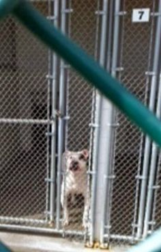 lizardmarsh: Waterbury CT: Urgent! Hearing-impaired Dog in a high kill shelter needs urgent rescue! Has no chance for adoption!