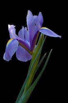 Natural light Iris series #1 RIP Lisa 1971-2012