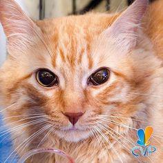 Porque nuestras mascotas merecen la mejor atención, contamos con servicio de urgencias las 24 horas. Deja la salud de tu  mejor amigo en nuestras manos.  #ServiciosCVP #Mascotas #CVP #PetLovers #Pets #Perros #Gatos #Dogs #Cats #Mascotagram #Petstagram #PetShop #DogLovers #CatLovers #NoAlMaltratoAnimal #LovePets #Instapet #ILoveMyPet #DogLife #Veterinaria