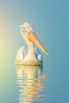 Pelican by Tomsy Alexandrov on 500px