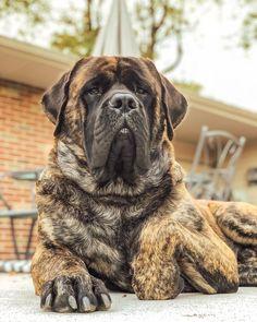14 Huge Facts About Wonderful English Mastiffs Brindle Mastiff, Mastiff Breeds, Tibetan Mastiff, Bull Mastiff Puppies, English Mastiff Puppies, Bullmastiff, Corgi Puppies, Huge Dog Breeds, Dog Breeds That Dont Shed