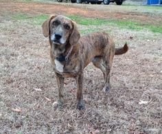 06/18/15-Jack -Plott Hound • Young • Male • Large Scottsboro Animal Shelter Scottsboro, AL
