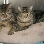 Allie and Ellie are sisters, born of a stray mother. They are about 8 months old. Both girls are shy at first, but once they warm up to you, they are quite affectionate. They love to play with toys and with other cats. - Female 8 months /