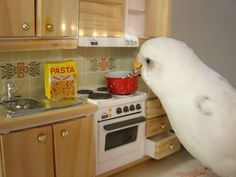 Budgie Cooking