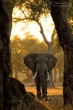 Africa | 'Through the Trees'.   Mana Pools in Zimbabwe | © Morkel Erasmus