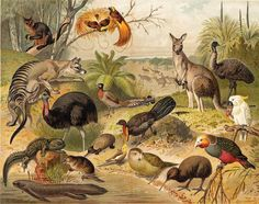 Animals of Australia and New Zealand Vintage Print, Antique Lithograph Fauna