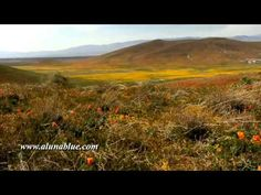 A valley of yellow wildflowers and a field of golden poppies.     Purchase this clip from A Luna Blue:   http://www.alunablue.com/nature-stock-footage/desert-blooms/desert-blooms-01/clip-06.html     A Luna Blue Stock Video.   Imagery for Your Imagination.   http://www.alunablue.com