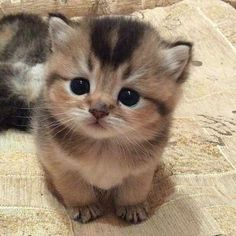 Smol kitten - your daily dose of funny cats - cute kittens - pet memes - pets in clothes - kitty breeds - sweet animal pictures - perfect photos for cat moms Cute Kittens, Fluffy Kittens, Cute Baby Cats, Kittens And Puppies, Cute Funny Animals, Cute Baby Animals, Cute Puppies, Funny Cats, Fluffy Cat