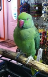 Taj is an adoptable Ringneck/Psittacula Parrot in Hubertus, WI. Taj is an approximately 4 year old female. Her adoption fee is $175.