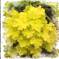 Heuchera Citronelle produces brilliant, almost neon bright, lime-yellow leaves that is certain to catch the eye of any one who passes by.    Being a hybrid these plants are much more tolerant of heat and humidity.    Very unique color and highly recommended.