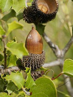 Quercus coccifera. Es un roble del género Quercus, de hoja perenne y verde todo el año, arbusto de no más de 2 m de altura, aunque a veces se puede convertir en un arbolillo de hasta 4 ó 6 m;