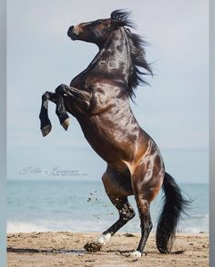 Spanish gelding Feeling, trained and owned byMiron Bococi freestyle horse show Tilda Josefsson Photography Cute Horses, Pretty Horses, Horse Love, Black Horses, Wild Horses, Horse Photos, Horse Pictures, Beautiful Creatures, Animals Beautiful