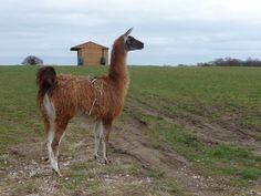 Donte - Donte Male Llama Llamas, Animals, Animaux, Animal, Animales, Animais