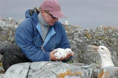 Donna Patterson-Fraser handles a giant petrel chick near the Antarctic Peninsula. She and other members of Dr. Bill Fraser's field team closely monitor the huge scavenger-predators as part of a larger ecological study. Photograph by: Peter Rejcek, National Science Foundation, Date Taken: January 19, 2010 National Science Foundation, Antarctica, Photo Library, Predator, Ecology, Monitor, Larger, January, Photograph