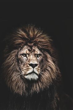 The wicked flee though no one pursues, but the righteous are as bold as a lion. Leo the Lion Citation Lion, Beautiful Creatures, Animals Beautiful, Beautiful Lion, Lion Quotes, Quotes Quotes, Lion Of Judah, Tier Fotos, Lion Tattoo