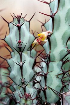 "libutron: "" Euphorbia   ©️️jeffs bulbesetpots """