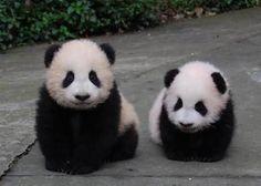 「baby panda bears」の画像検索結果