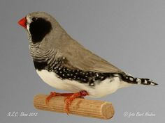 NZC Show 2012 – Nederlandse Zebravinken Club Zebra Finch, Horse Pictures, Beautiful Birds, Pet Birds, Animals And Pets, Finches, Garden Ideas, Feather, Club