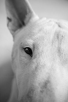 Animals Discover A pig dog? Miniature Bull Terrier Dog Suit Bullen English Bull Terriers Dog Portraits Beautiful Dogs Mans Best Friend I Love Dogs Animals And Pets Bull Terrier Funny, Mini Bull Terriers, Miniature Bull Terrier, English Bull Terriers, Dog Suit, Bullen, Animal Photography, Equine Photography, Dog Portraits
