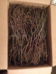 We have several Sea buckthorn cultivars. Our bare root shrubs ship spring and fall.  ----------------------------------------------- Nous avons plusieurs cultivars d'argousier. Nos arbustes à racines nues sont distribué au printemps et à l'automne. We, Color Inspiration, Herbs, Fruit, Spring, How To Make, Products, Shrubs, Roots