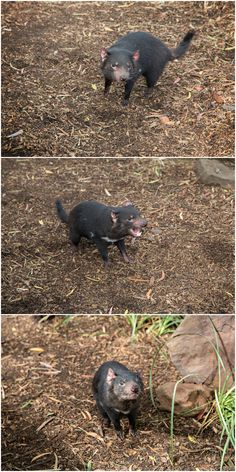 - Having a devil of a time at Bonorong Wildlife Sanctuary in Tasmania's (Australia) south Image Credit: Anelda Lötter Photography Tasmanian Tiger, Tasmanian Devil, Dark Stories, Australia Trip, Quokka, Australian Animals, Wombat, South Pacific, Homeland