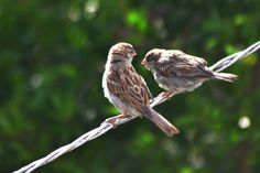 The Whispering Sparrows of kashmir