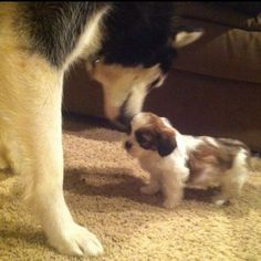 My puppies meeting for the first time... Ky-Siberian husky and Izzy- morkie