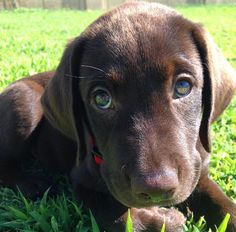 How cute is this chocolate lab?? Via @cooper_the_chocolate IG