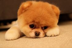 Boo the pomeranian puppy is the most cutest thing ever! doesn't this just melt your heart? <3