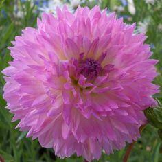 Dahlia 'Sakura Fubuki' - Rose Cottage Plants