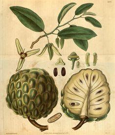 Sugar-apple (Annona squamoa). Curtis's botanical magazine v.58 [new ser.:v.5] (1831)  London ;New York [etc.] :Academic Press [etc.]  Biodiversitylibrary. Biodivlibrary. BHL. Biodiversity Heritage Library