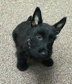 That look. Animals And Pets, Baby Animals, Cute Animals, Baby Puppies, Baby Dogs, Scottish Terrier Puppy, Cute Dogs Breeds, Pet Peeves, Beautiful Dogs