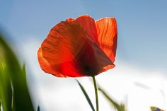 Poppy, Red, Flower, Red Poppy, Bloom, Color, Nature copyright free images no attribution required