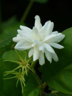 Jasminum sambac 'Mysore Mulli' from Almost Eden Nursery Love Flowers, White Flowers, Beautiful Flowers, Cheap Flowers, Gardenias, Mysore, Jasmine Plant, Indoor Flowering Plants, Mosquito Repelling Plants
