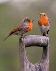 Bildergebnis für robins