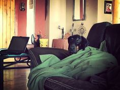 Watching tele #dobermandog