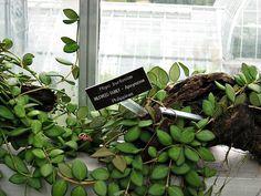 Hoya burtoniae