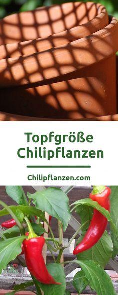 Bei Chilis hängt die Pflanzengröße vom Platz der Wurzeln ab. Bei einem zu kleinem Topf, mit wenig Erde, schränken Sie das Potenzial Ihrer Chili unnötig ein. Der Unterschied ist bei vielen Sorten riesig. Wenn Sie wenig Platz zu Verfügung haben, müssen Sie letztendlich einen Kompromiss finden. Sie können durch regelmäßiges Umtopfen den Pflanzen beim Wachsen helfen.