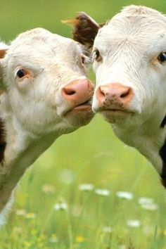 cuddly cows - cows Photo