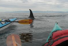 Kayak with orca whales.  Join San Juan Kayak Expeditions for a day or multi-day trip in the San Juan Islands!  Since 1980!