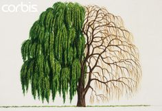Chinese Weeping Willow Tree