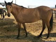 This mare ran through auction loose and not much is known about her. She moves beautifully and appears to be sound. She is said to be a Kiger Mustang and has no visible brand. We did not catch her to do an evaluation. From what we could see, she appears to be healthy and in good body condition.   Deadline: 8/9/13 Location: Sunnyside, WA Contact: Tash | info@auctionhorses.org | 425-985-9204