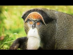 "this is a De Brazza's monkey. it's kind of uncool to name a monkey after a human imo but this monkey's other two names are ""swamp monkey"" and ""ayatollah monkey"" so it doesn't really have any great… Wise Animals, Nature Animals, Animals And Pets, Funny Animals, Adorable Animals, Primates, Mammals, Types Of Monkeys, Ape Monkey"