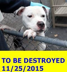 GONE 11-25-2015 --- Manhattan Center CARVEL – A1058359 FEMALE, BLACK / WHITE, PIT BULL MIX, 1 yr STRAY – STRAY WAIT, NO HOLD Reason STRAY Intake condition UNSPECIFIE Intake Date 11/19/2015 http://nycdogs.urgentpodr.org/carvel-a1058359/