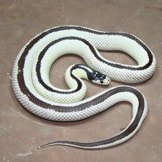 Reverse California King Snake